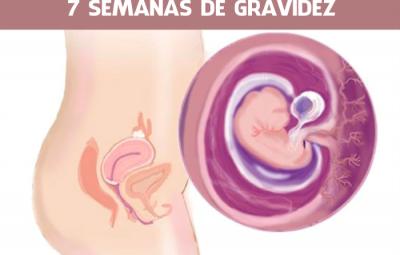 7 semanas de gravidez