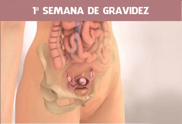 Read more about the article 1 Semana de Gravidez