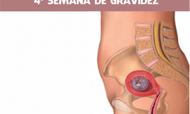 4 semanas de gravidez: Embriologia e Ultrassom