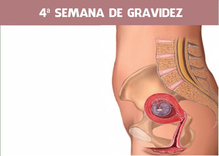 You are currently viewing 4 semanas de gravidez: Embriologia e Ultrassom