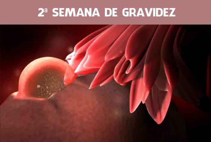 Read more about the article 2 Semanas de gravidez