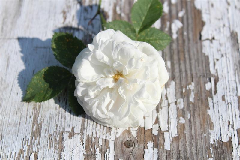 cha de rosa branca